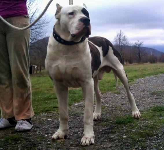 Dogo argentino X Fila brasileiro. Big dogs, Dog breeds
