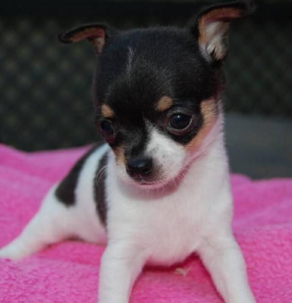 Chihuahua That Looks Exactly Like My Little Chi Biskit When She