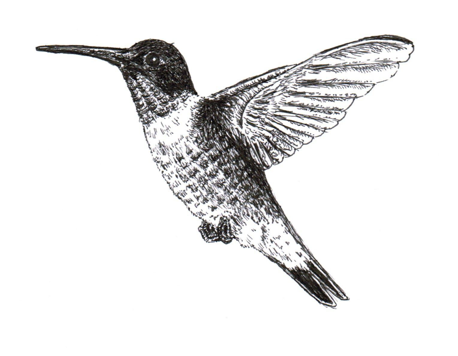 Ruby Throated Hummingbird Ink Drawing