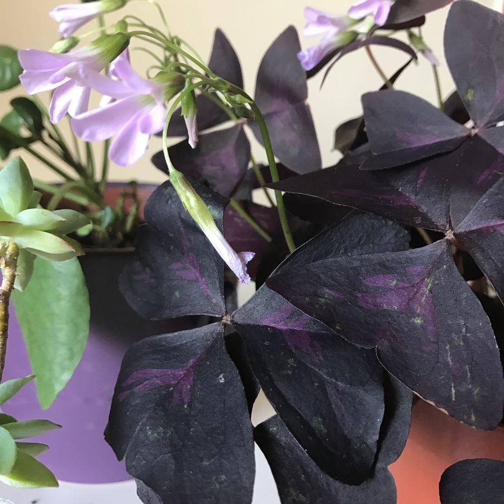 Lovely Oxalis Pourpre Oxalis Pourpre Oxalis Triangularis Et
