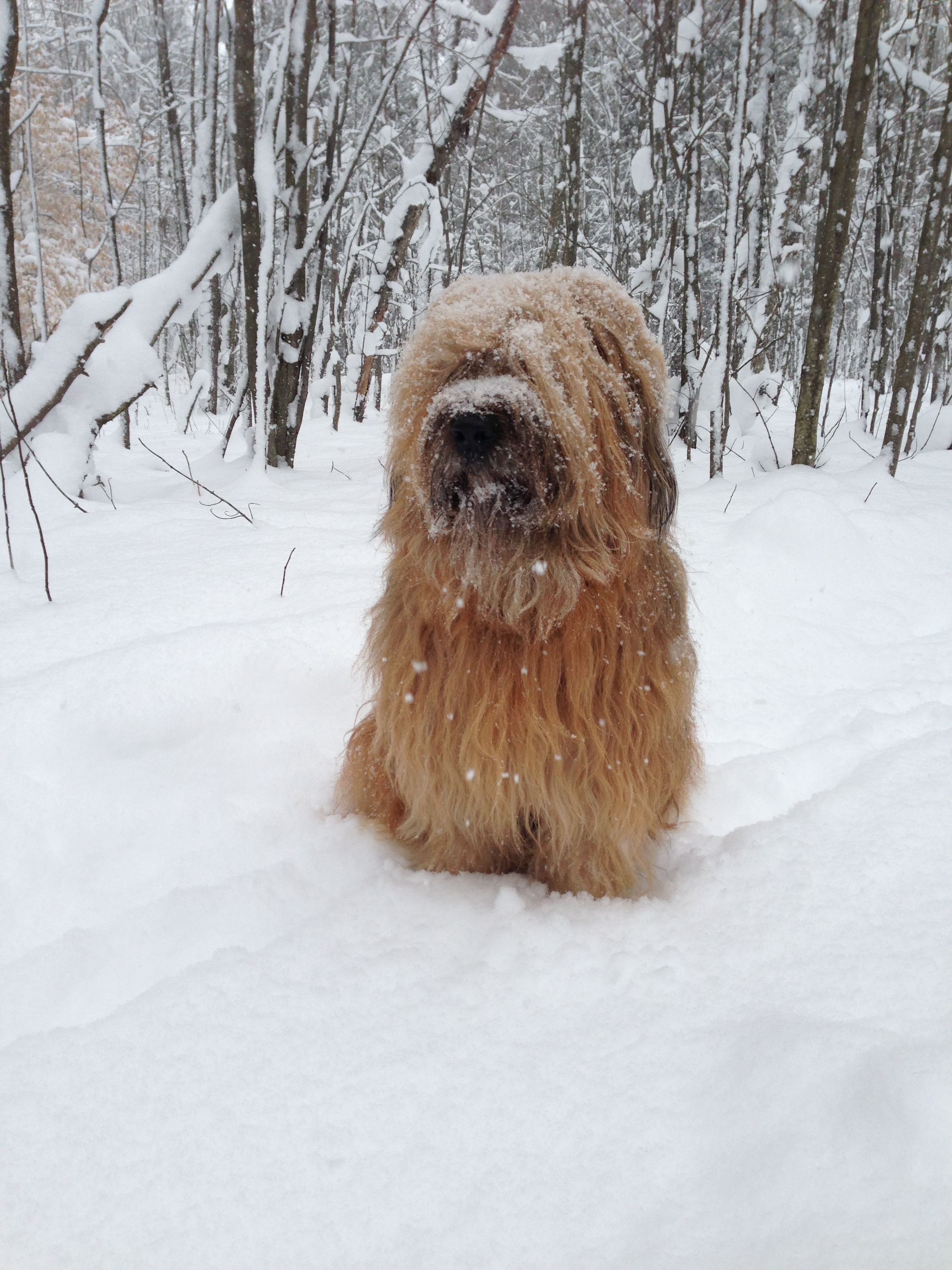 Snow Loving Briard Briard Dog Dogs And Puppies Beautiful Dogs