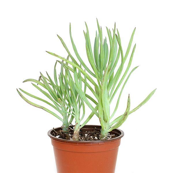 Narrow-Leaf Chalk Sticks - Senecio cylindricus | Houseplants ... on narrow leaf hostas, narrow leaf evergreens, narrow leaf trees, narrow leaf grass, narrow leaf shrubs,
