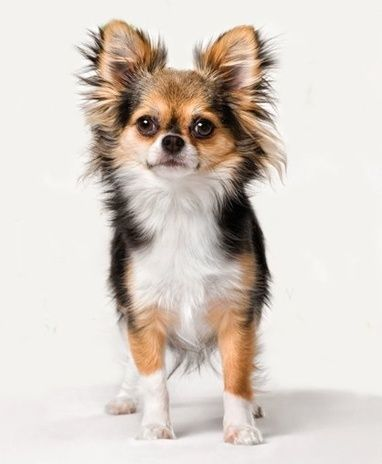 Encino Ca Chihuahua Pomeranian Mix Meet Hope 2 Lbs A Puppy