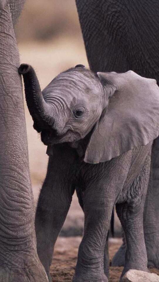 Baby elephant learning to walk. iOS8 HD wallpaper for ...