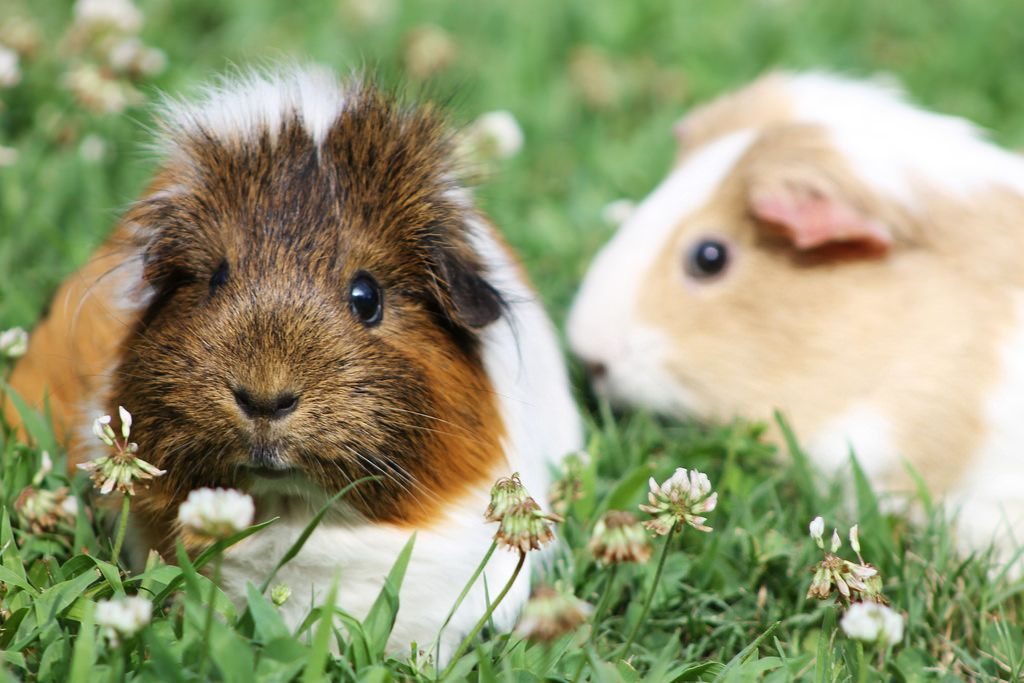 R Guinea Pigs Rodents guinea pigs (by...