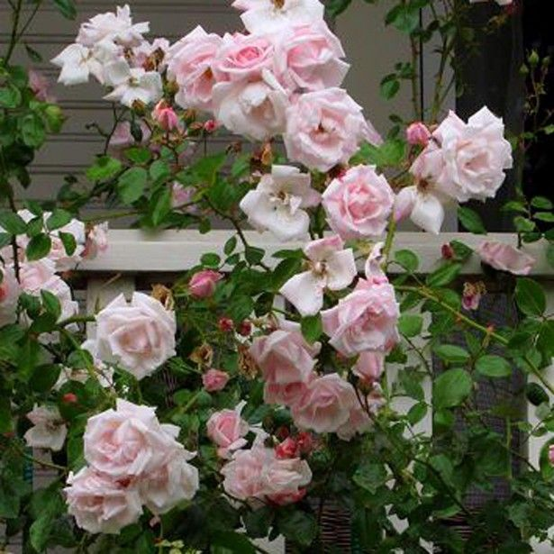 rosier grimpant new dawn roses rose beautiful roses. Black Bedroom Furniture Sets. Home Design Ideas