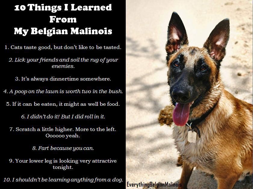 10 Things I Learned From My Belgian Malinois Belgian Malinois Dog Belgian Malinois Malinois