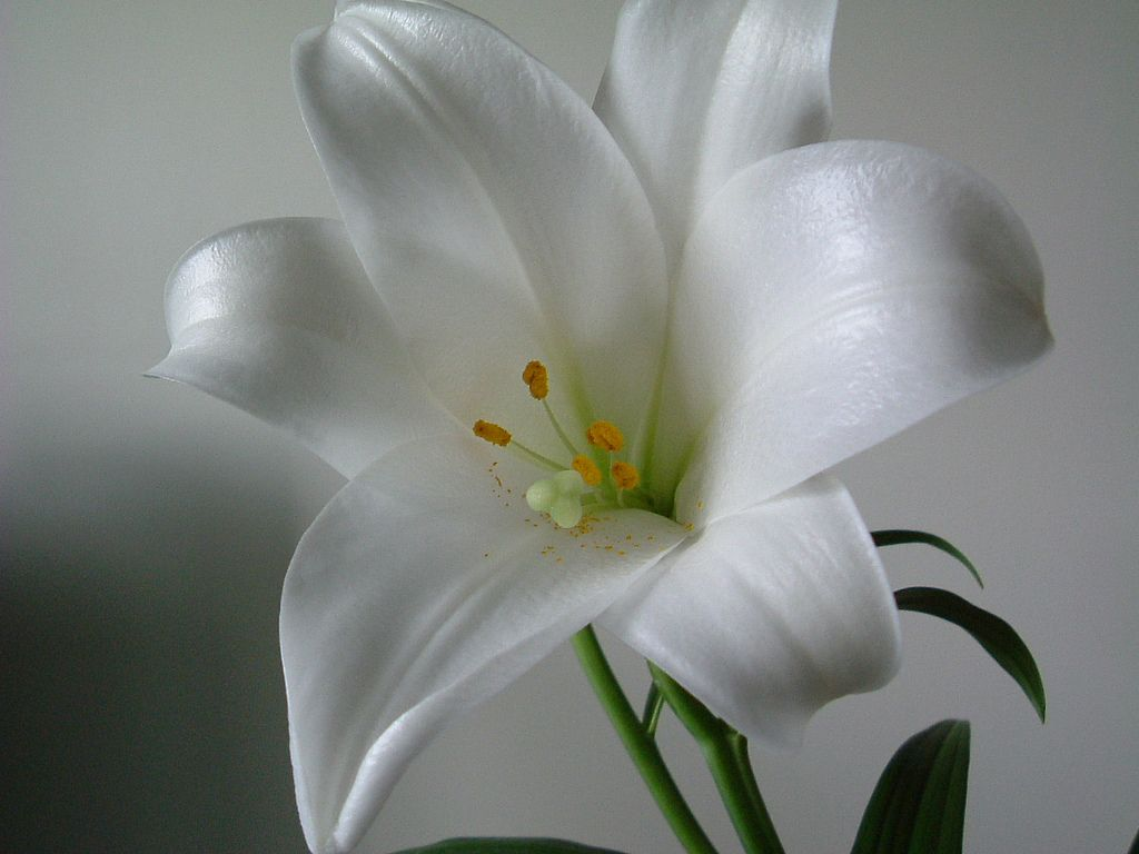 The White Lily Flower Is Linked To Juno Queen Of The Gods In Roman
