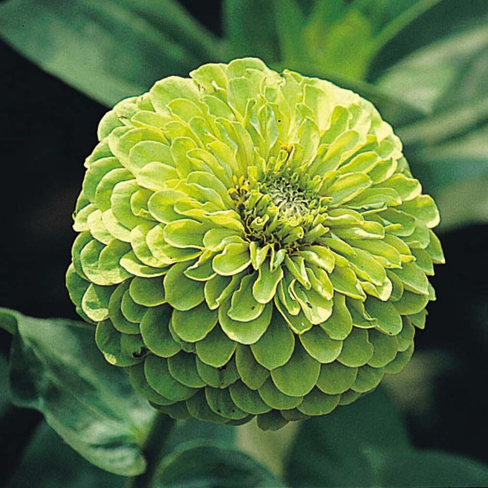 List of annual flowers ided by color sun amp shade types - Zinnia Elegans Envy Double Half Hardy Annual Chartreuse Green Unique Colour