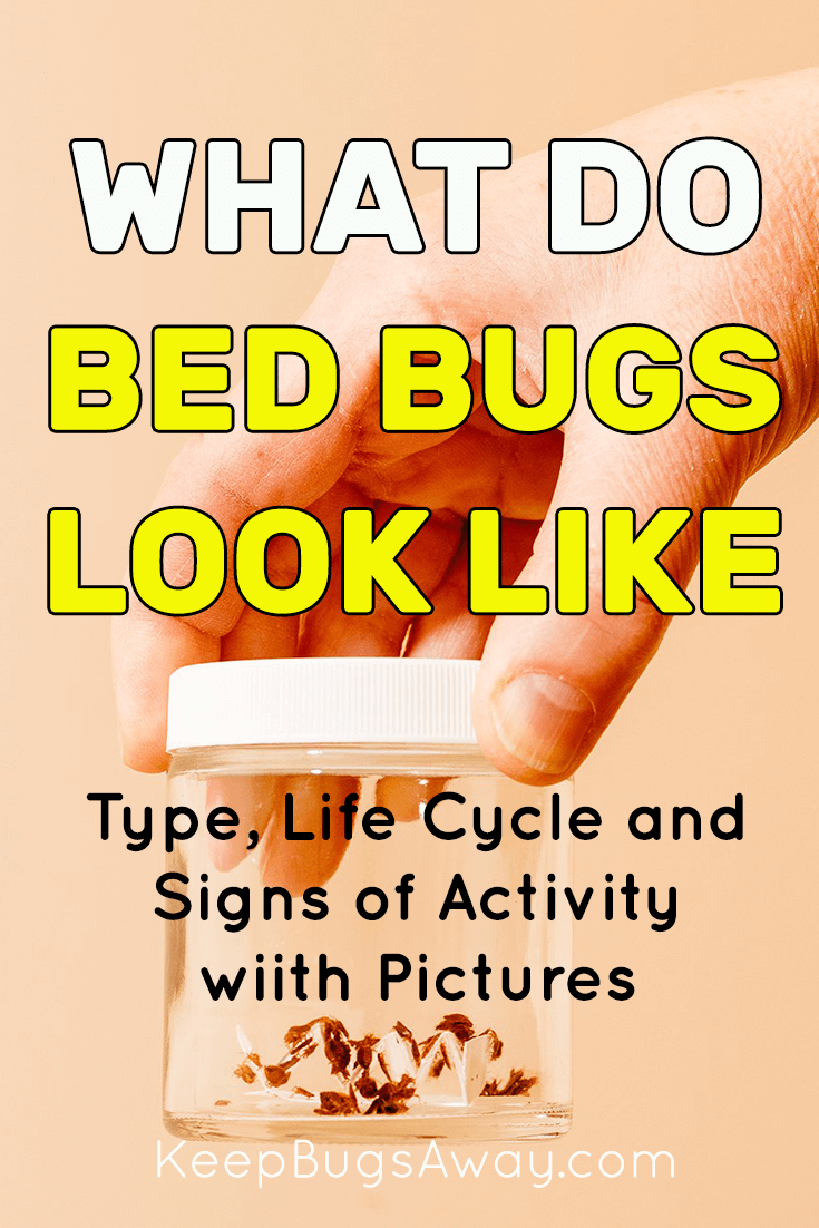 What Do Bed Bugs Look Like An Easy Guide to Identify Bed