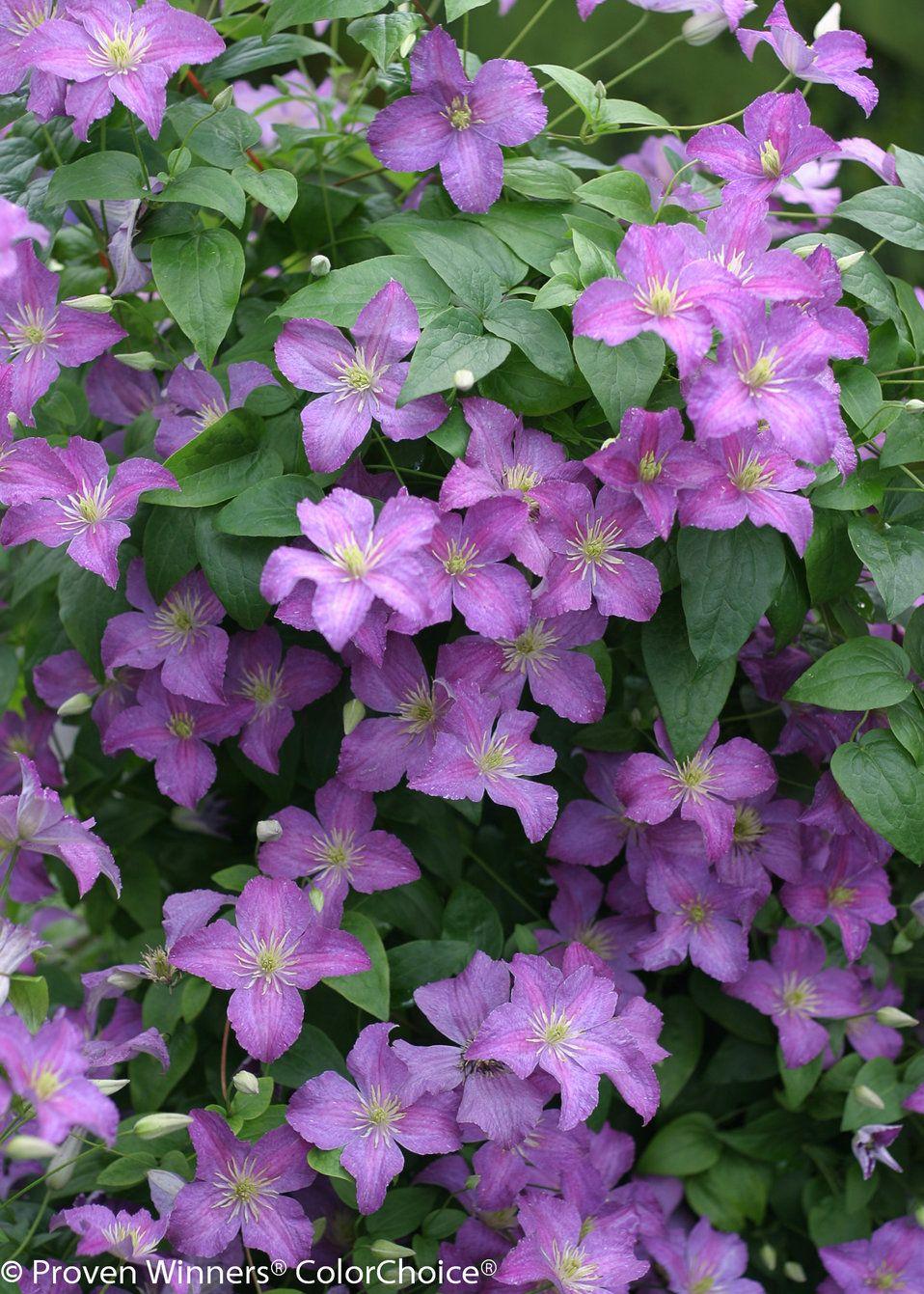 Jolly good clematis sp flowers pinterest clematis garden