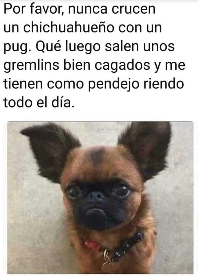 Jajaja #pug + #chihuahua | Memes de perros chihuahua ...