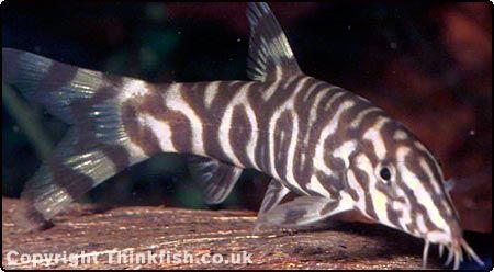Loaches Compatibility Freshwater Aquarium Zebra Fish