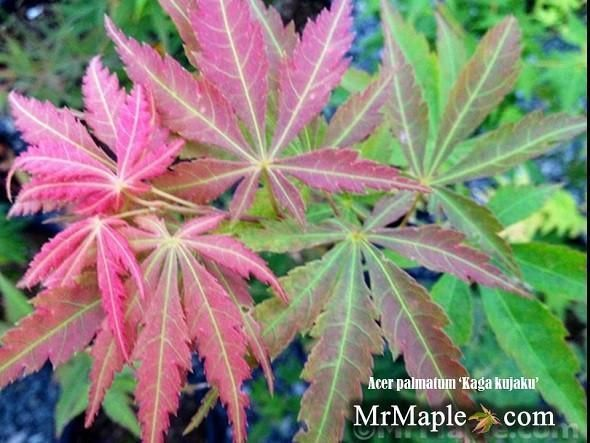 You can buy Kaga kujaku Japanese maple online mail-order. Kaga kujaku is a beautiful green Japanese maple. A purchase of Kaga kujaku Japanese maple is a true investment in your yard! Acer palmatum 'Kaga kujaku' is the Japanese maple for you. Buy this rare Japanese maple tree online with confidence at our online Japanese maple store. #japanesemaple You can buy Kaga kujaku Japanese maple online mail-order. Kaga kujaku is a beautiful green Japanese maple. A purchase of Kaga kujaku Japanese maple is #japanesemaple
