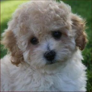 Poochon Dog Breed Information And Facts Poochon Dog Poodle Puppies For Sale Poodle Puppy