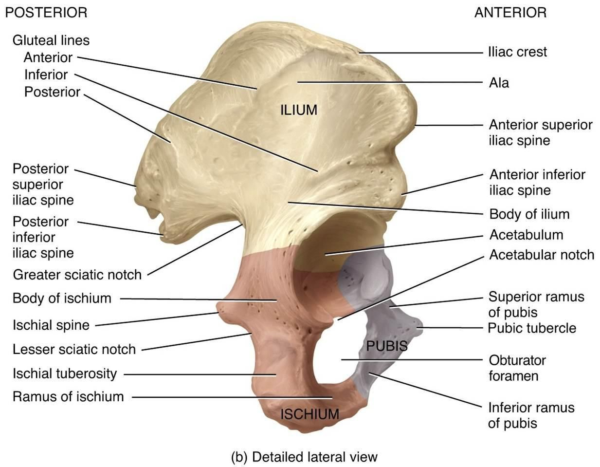 Pubis Skeleton Google Search Random Hip Bones Anatomy