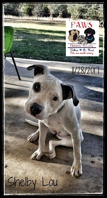 Shelby is an adoptable american bulldog searching for a