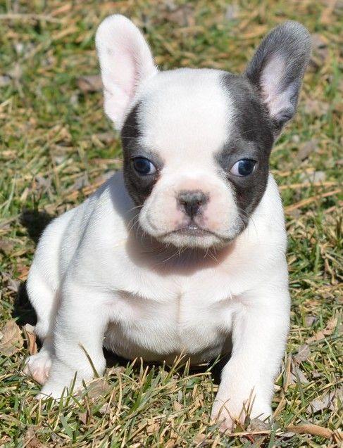 White Blue Pied Female French Bulldog Frenchieforsale