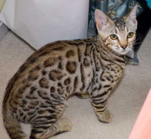 F4 Bengal cat for rehoming FOR SALE ADOPTION from Victoria