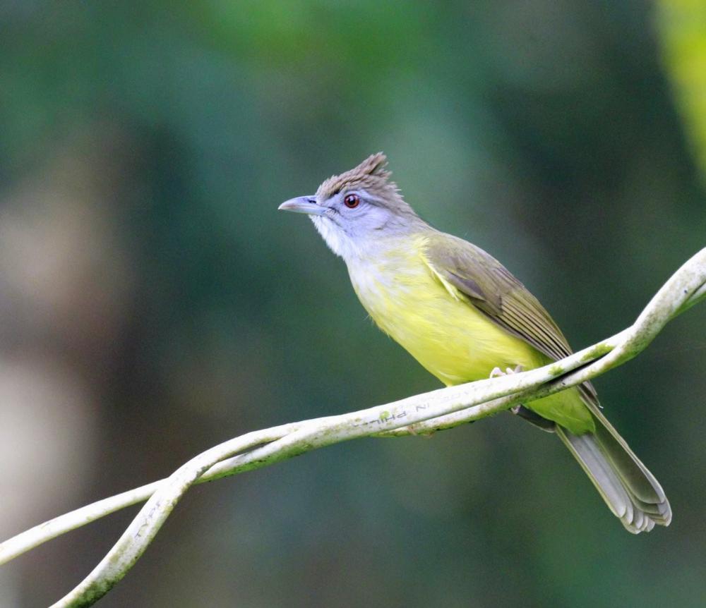 Burung Mozambik Betina Ilmusosial Id