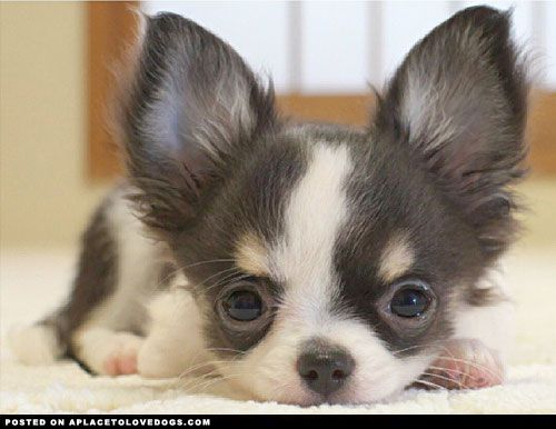 Adorable Baby Chihuahua A Place To Love Dogs Baby Chihuahua