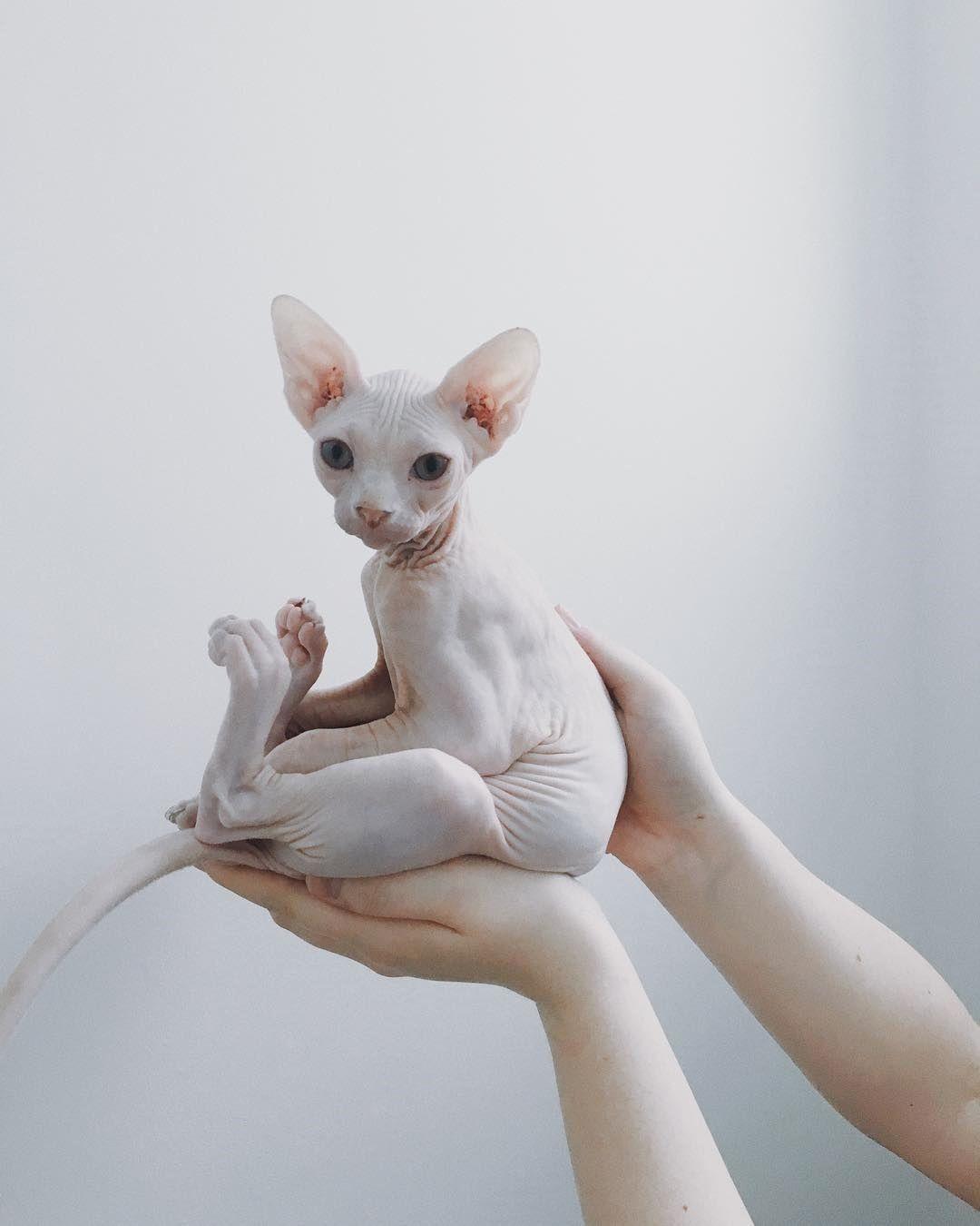 Park Art My WordPress Blog_Sphynx Kittens For Sale 500 Ohio