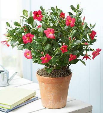 Mandevilla Plant Must Learn How To Train Not Become A Vine