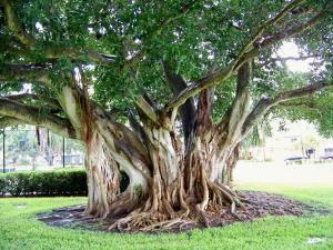 6c603b63aec Ficus aurea - Strangler Fig. Family Moraceae.