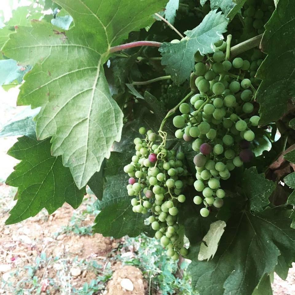 21Lug15 - Piccoli grappoli crescono