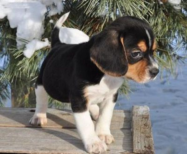 beagle puppies for sale in VA. Don't tell dad but I wanna