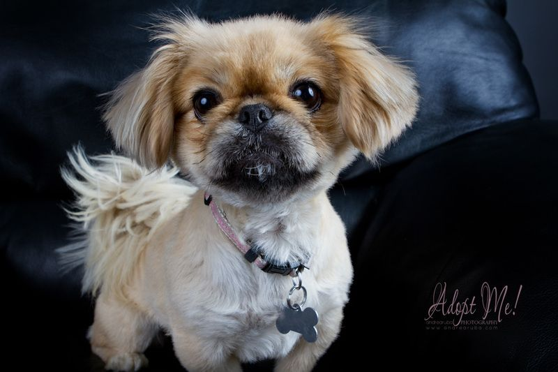Pekingese Chloe Pekingese Pekingese Dogs Dog Adoption