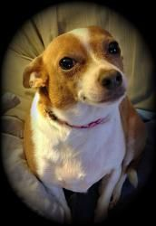Lacy Is An Adoptable Chihuahua Dog In Rochester Ny Meet Lacy A