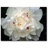 Found it at Wayfair - 'Perfect Peony' by Kurt Shaffer Photographic Print on Canvas