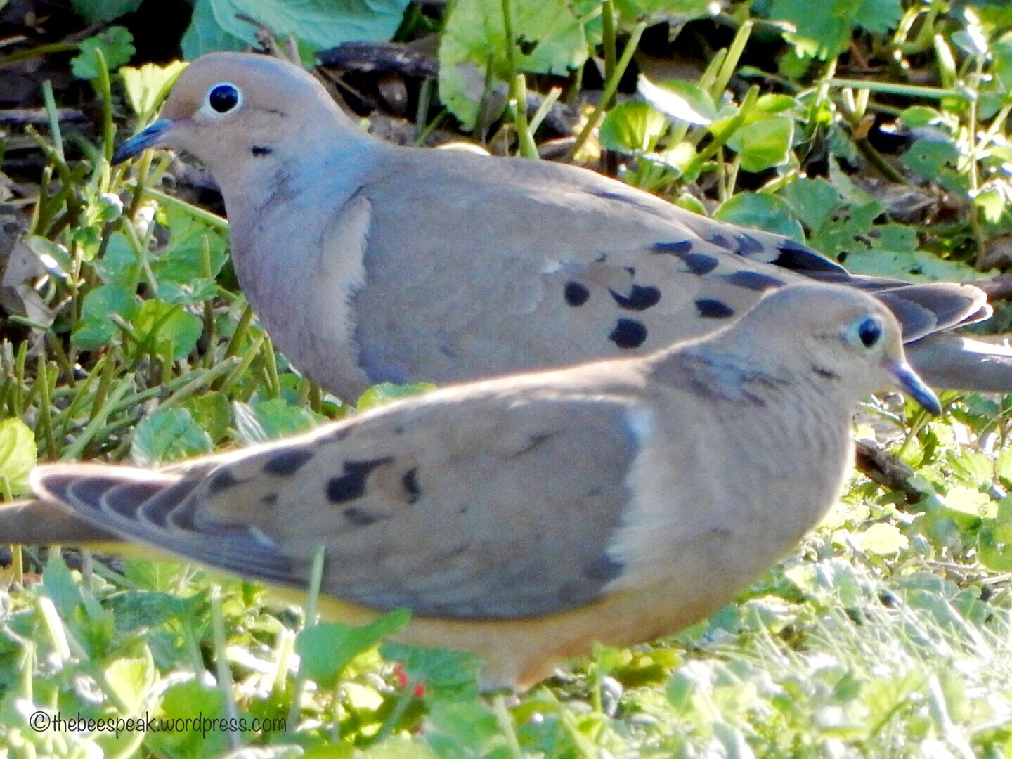 Peace Haiku (Please) We call out for peace Pleading for others to hear Like the mourning doves *** This pair of mourning doves is always seen together as they venture into my yard for food. I love …