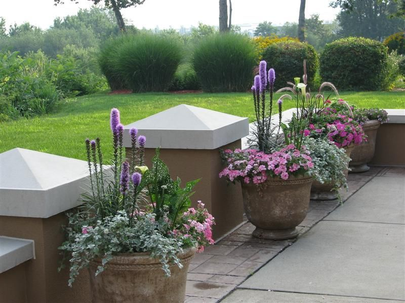 ivy geranium in containers - Google Search