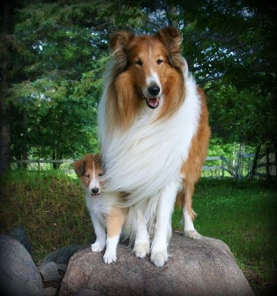 Mason Daddy And Lad Northern Classic Collies Collie Breeds