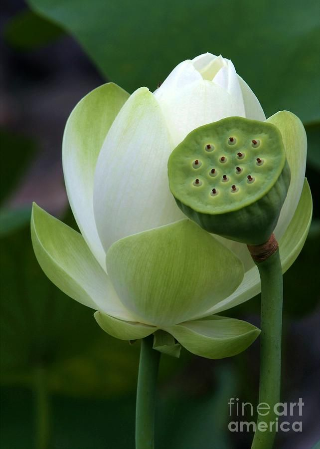 New Beginnings By Sabrina Ryan Nature In Art Lotus Flowers