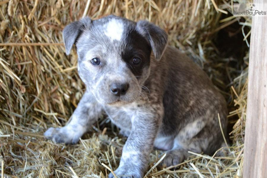 Meet A Cute Australian Cattle Dog Blue Heeler Female Puppy For Sale Sky Cattle Dog Blue Heeler Australian Cattle Dog Blue Heeler