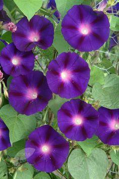 Morning Glory Grandpa Ott Morning Glory Flowers Morning Glory Seeds Morning Glory Plant