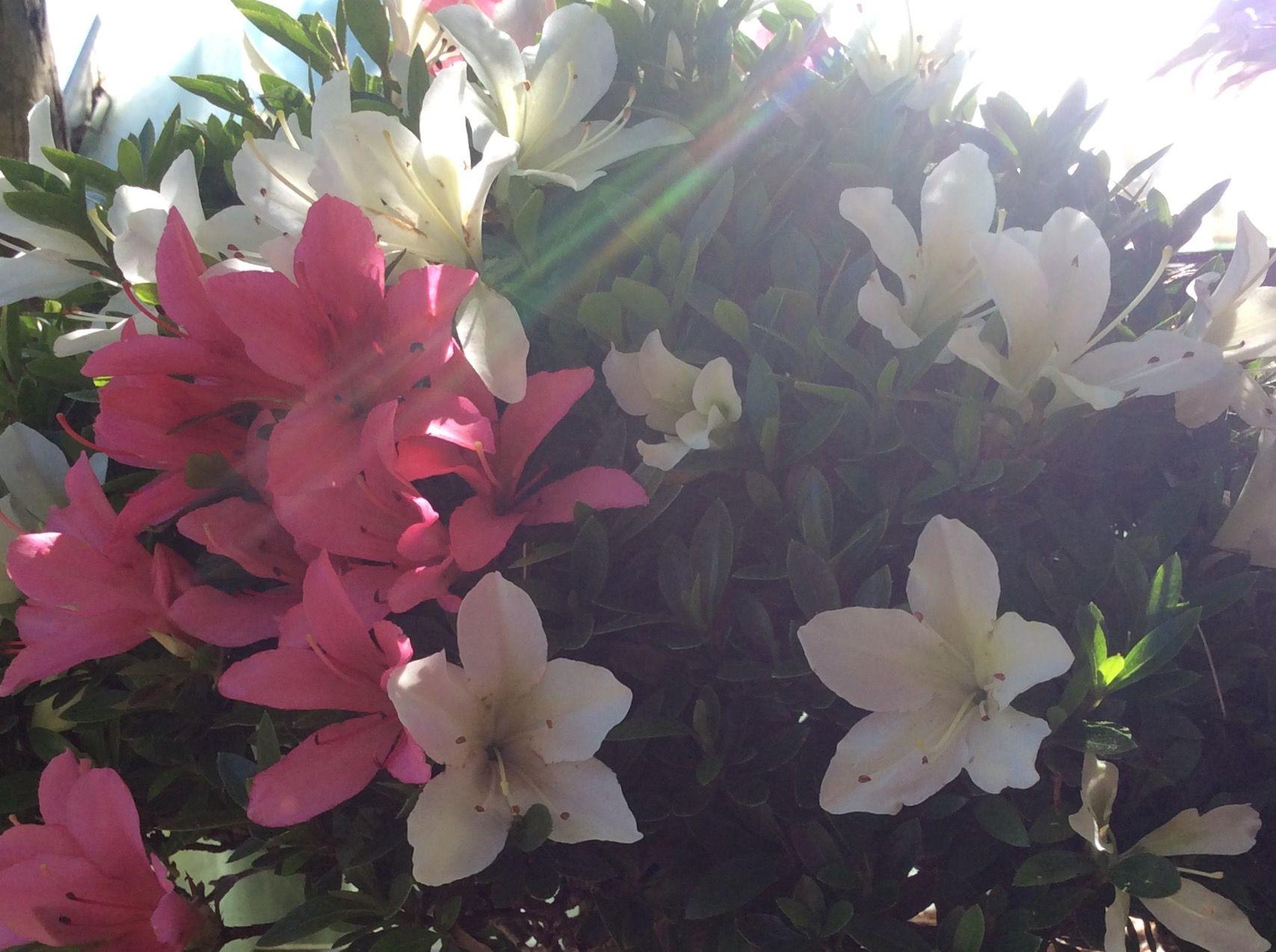 Satsuki Azalea Bonsai Pink And White Flowers On The Same Tree All