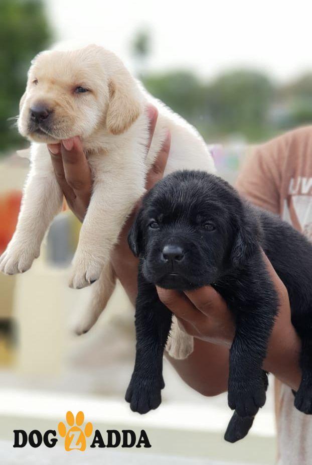 Explore Labrador Puppies Price Range Rs 15k To 30k Available