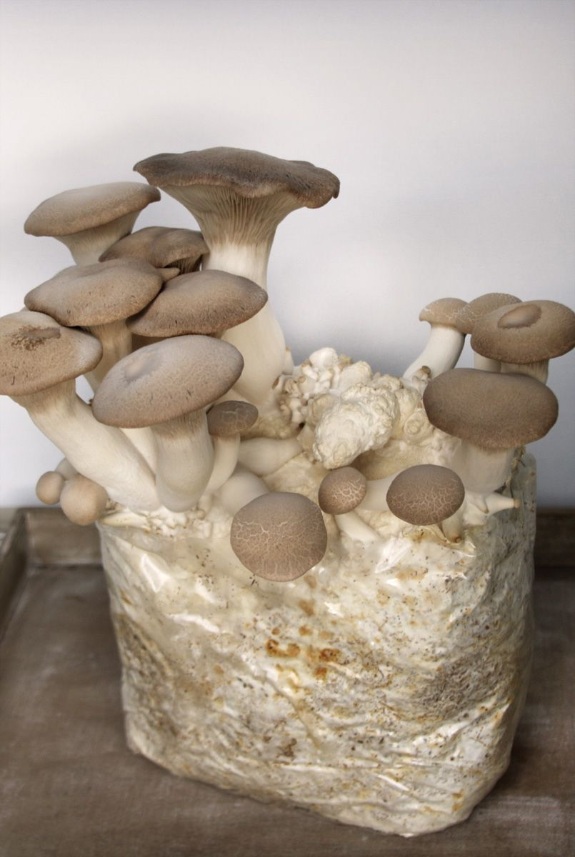 Kräuterseitlinge selber züchten | Pilzanbau im Haus - grüneliebe