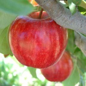 Starkrimson Gala Apple From Stark Bro S Apple Tree Fruit Trees Apple