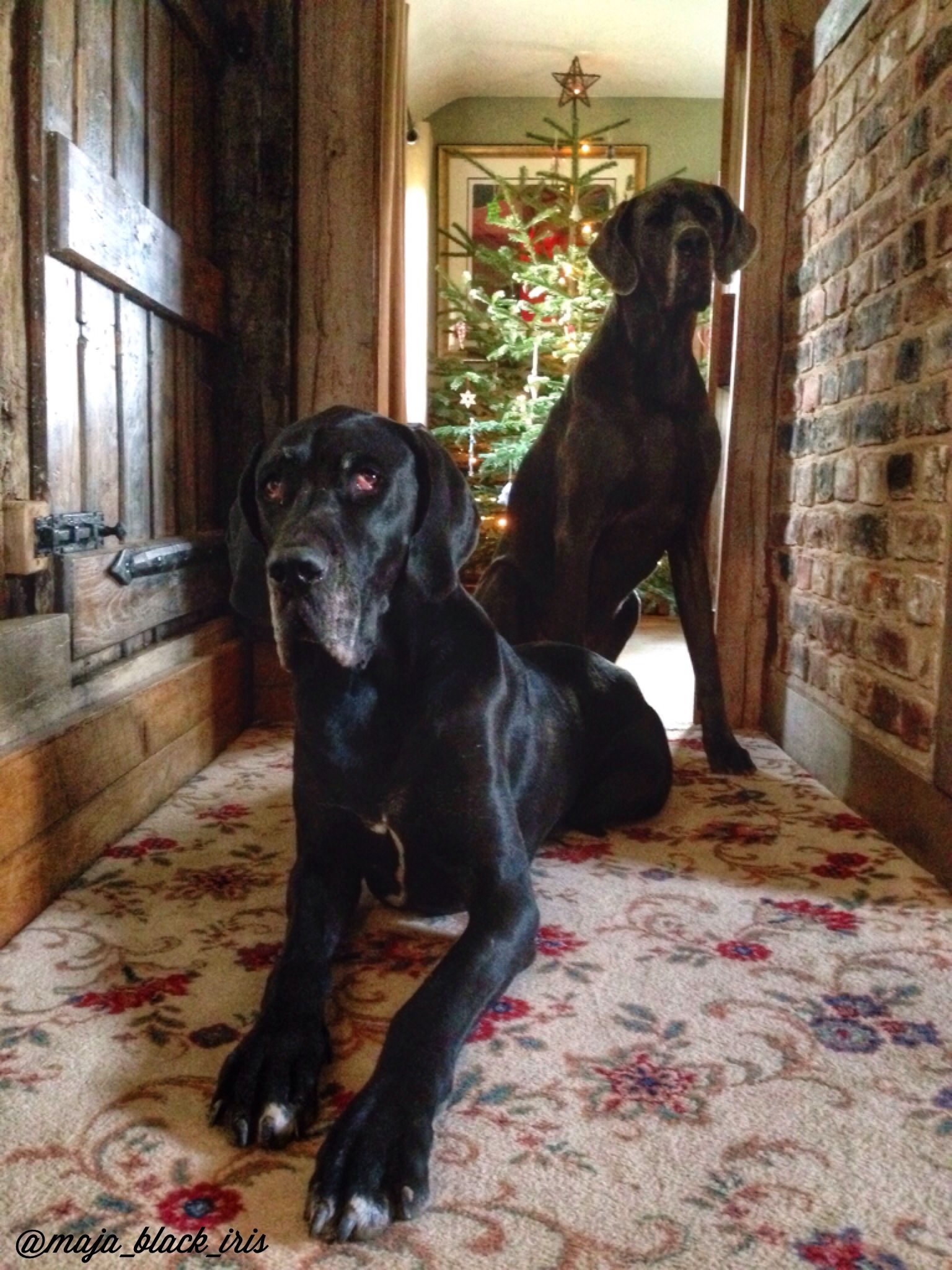 Festive Arrangement Of Great Danes Great Dane Dogs Dane Dog