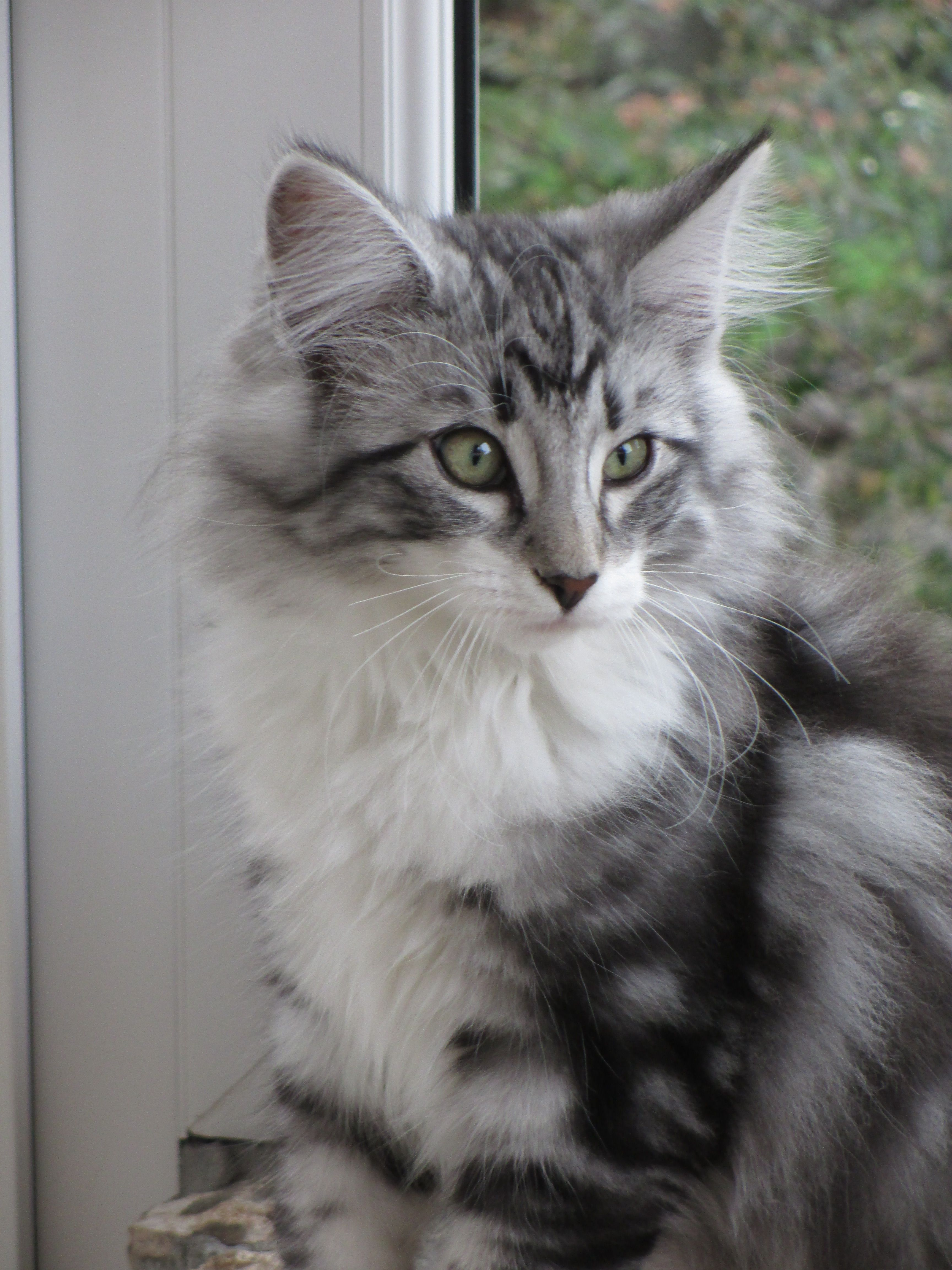 Enero 2014 January 2014 3 Meses 3 Months Old Norwegian Forest Cat Forest Cat Siberian Cat