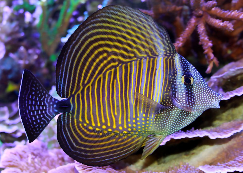 Desjardini tang red sea zebrassoma desjardinii tangs for Red saltwater fish