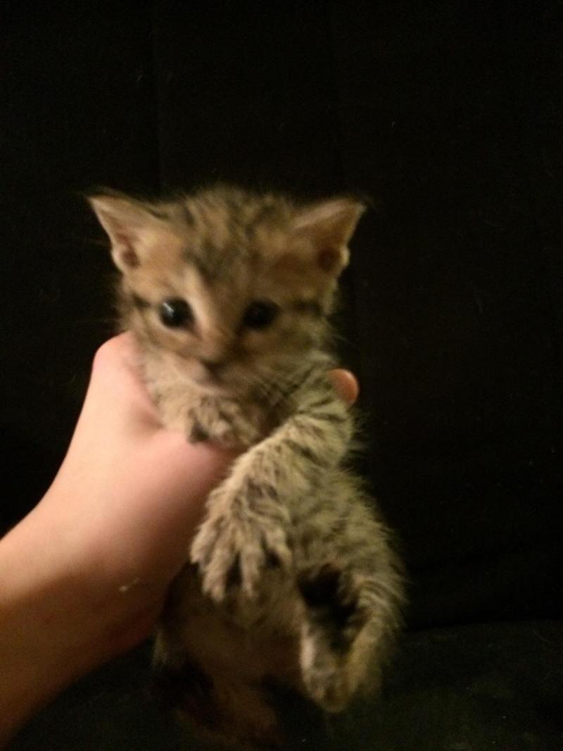 Adopt Regina On Petfinder Kitten Adoption Cat Adoption Homeless Pets