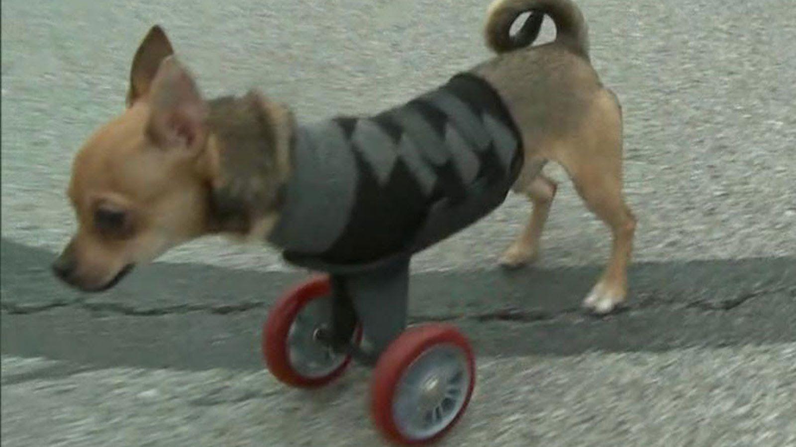 Turbo Roo Animal Amazingness Chihuahua Animals Legs