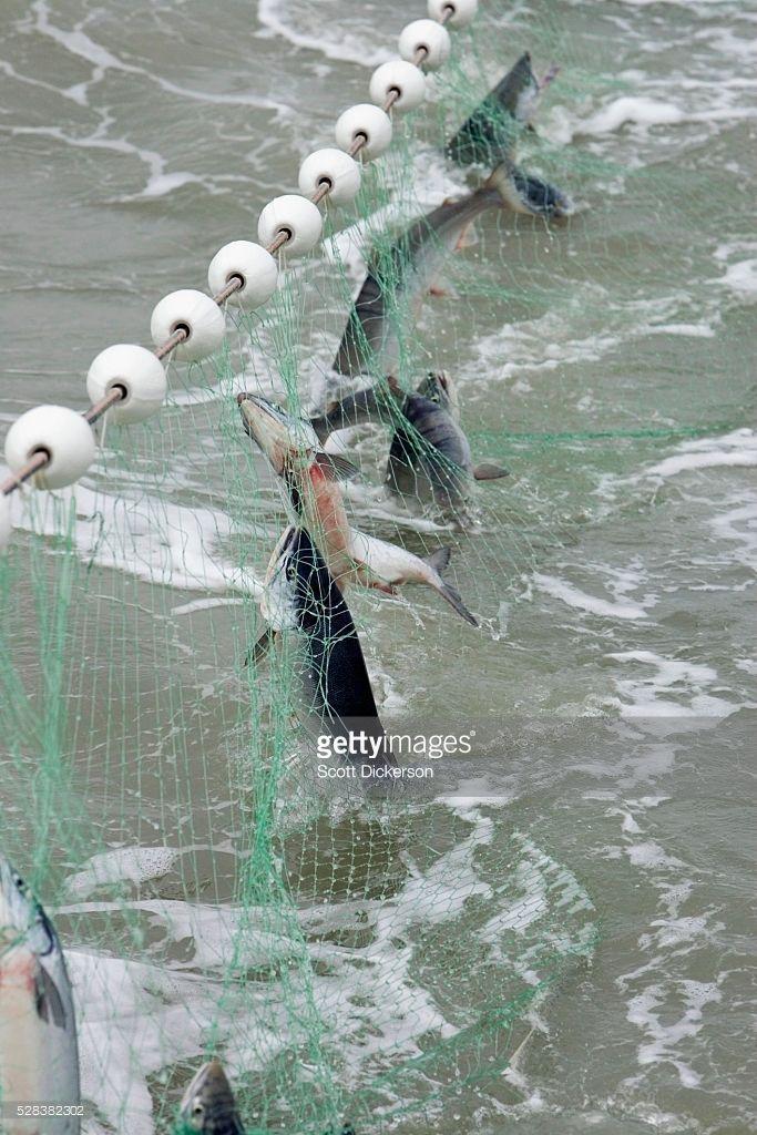 Stock Photo : Sockeye Salmon Are Caught In A Gillnet In Bristol Bay Alaska