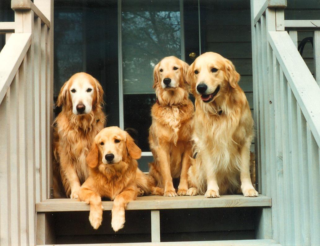 4 Golden Retrievers On A Porch Golden Retriever Dogs Pet Dogs